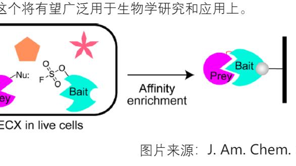 【J. Am. Chem. Soc.】通过SuFEx化学将非天然氨基酸用于实现蛋白质的共价键合