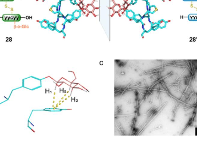 J. Am. Chem. Soc.|多糖-芳香相互作用介导的多糖立体化学调节糖肽自组装