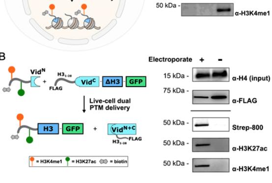 PNAS|通过内含肽实现活细胞中蛋白质偶联