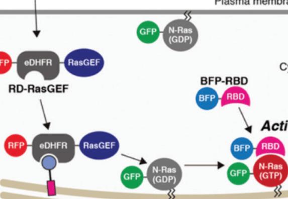 Chem.Commun∣可招募蛋白的高尔基体靶向性分子